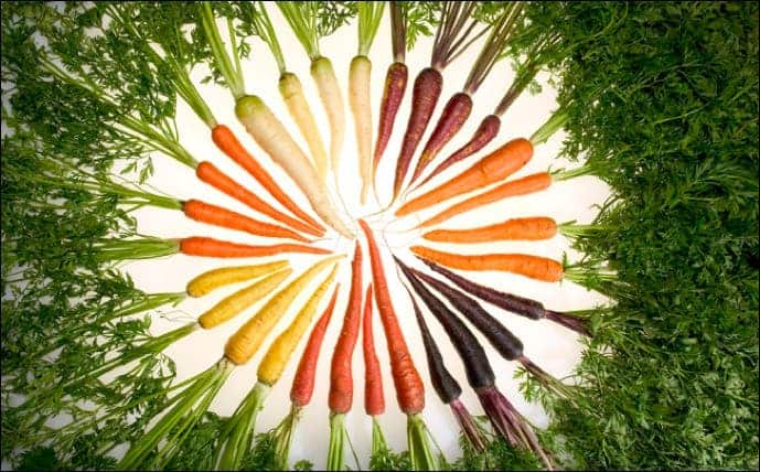 Orange carrots are colored by alpha- and beta-carotene, while red carrots get their color from lycopene, yellow from lutein and purple from anthocyanin. These pigments also provide the nutrition found in carrots. PHOTO COURTESY OF PHIL SIMON, UW–MADISON, USDA-ARS