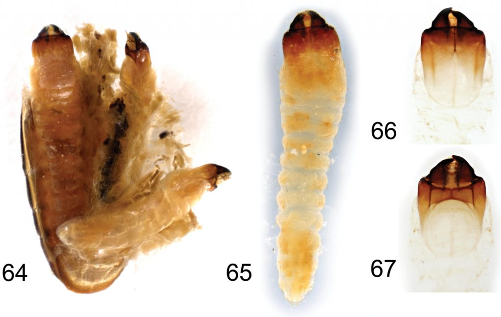 Borneostyrax cristatus sp. n., larvae from one of the paratype females: 64 Separated and partially opened female abdomen with three larvae, dorsal view 65 Larva, dorsal habitus 66 Larval head capsule, dorsal view 67 Larval head capsule, ventral view. Not to scale.
