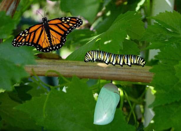 Butterfly catterpillar