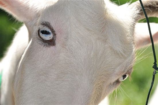 Why Goats Have Really Weird Rectangular Pupils