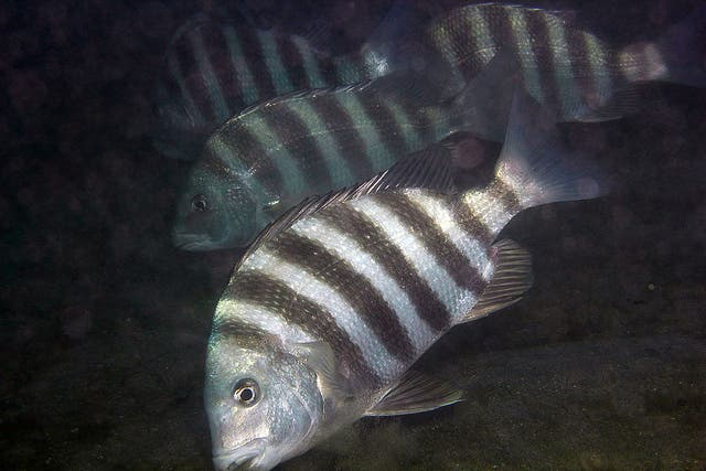 Bunch of sheepshead convicts. Credit: MENTALBLOCK_DMD; FLICKR