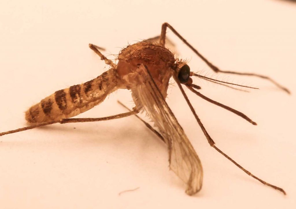 The London Underground Mosquito, found in underground systems worldwide. Presumed to have evolved from standard house mosquito. (Credit: Wikimedia Commons)