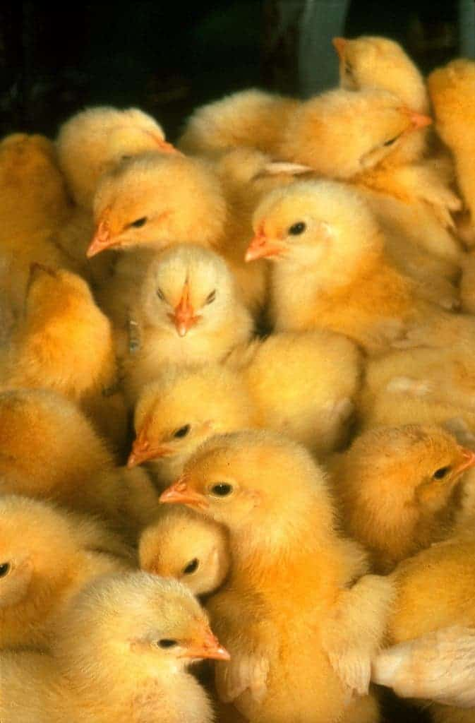 US egg farmers to stop grinding male chicks alive by 2020