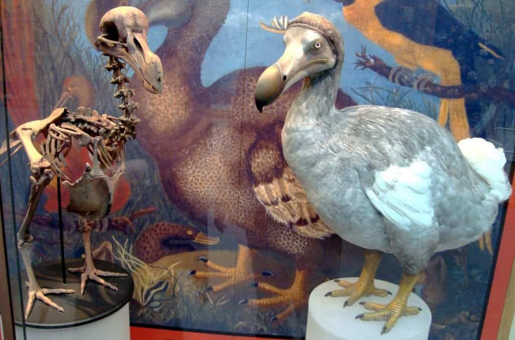 Skeleton and model of the Dodo, which was driven extinct by humans but is also a prime example of insular gigantism. Credit: Wikipedia