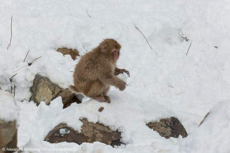 Japanese macaque forming a snow ball. Credit: Alexandre Bonnefoy.