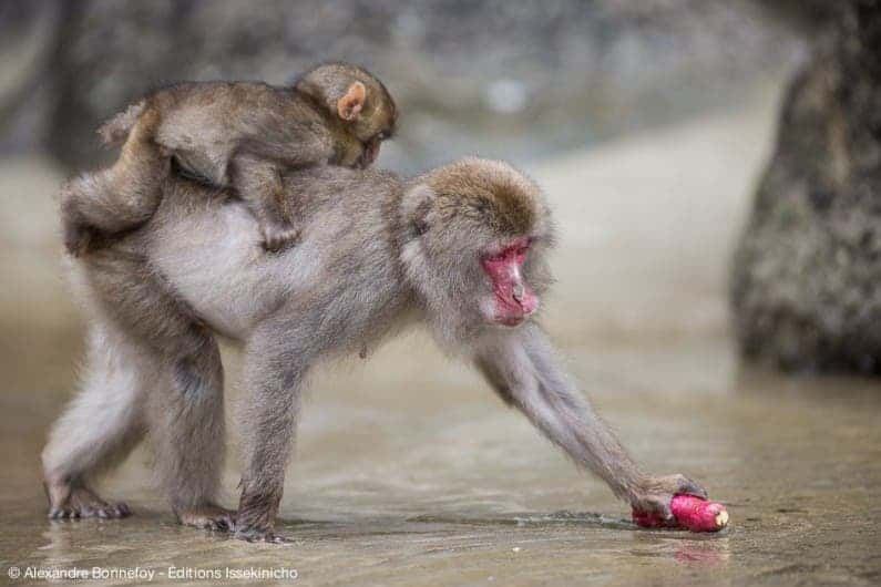 """: The macaques washing potatoes at Koshima island. It reminded me my primatology courses, and it was fantastic to observe the behavior having learned about it some years ago. I also enjoyed observing macaques looking for and eating shells on the rocks of the beach of Koshima,"" said Pelé."