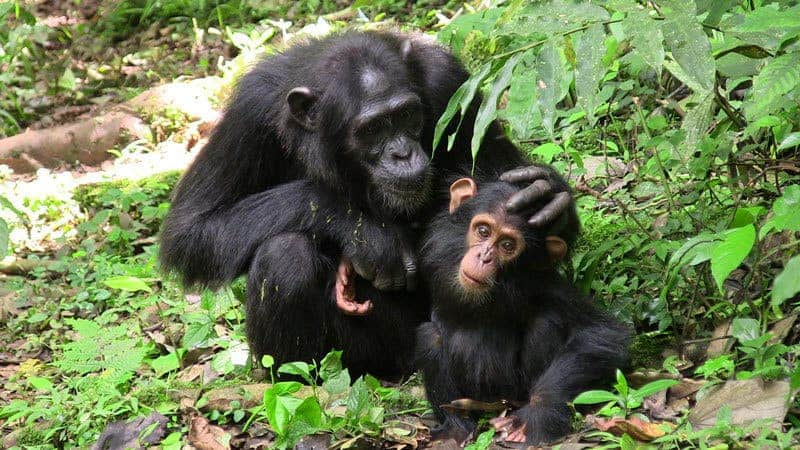 Mother chimp with her infant. M. Fröhlich