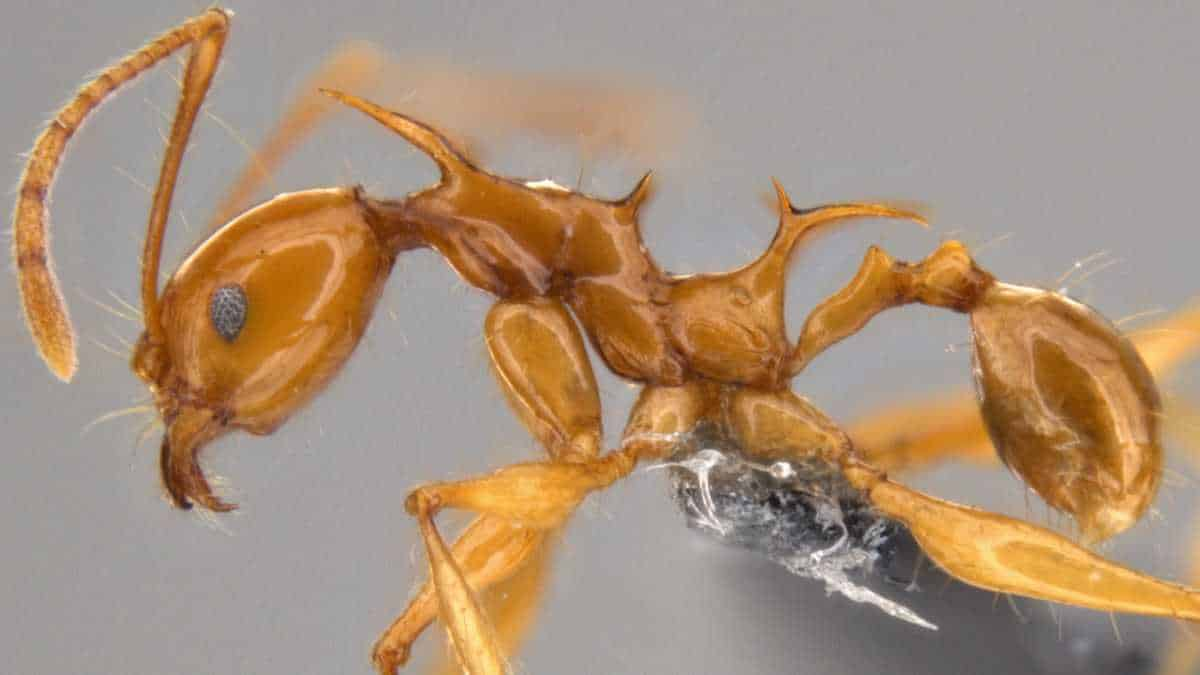 Pheidole viserion, a newly discovered ant species from Papua New Guinea © OIST