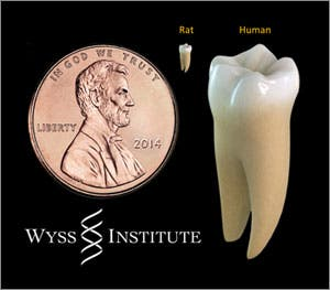 Rat vs human tooth. Being a rodent dentist is tough! Credit: James Weaver, Harvard's Wyss Institute