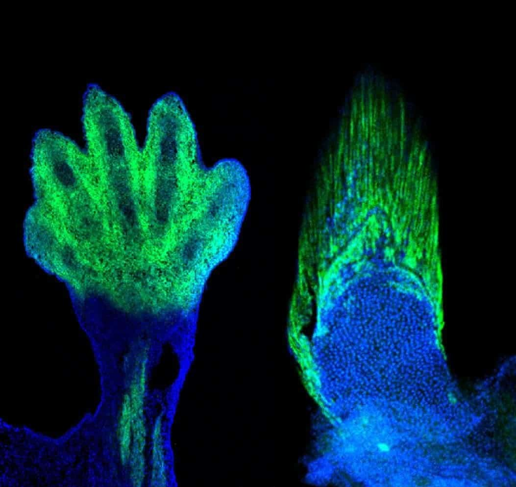 Mouse hand and zebrafish fin, both colored with the same protein markers. The two grow using the same blue-print with significant consequences to our understanding of evolutionary biology. Credit: Marie Kmita and Andrew Gehrke