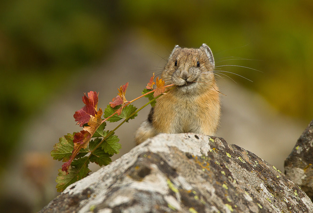 The American Pika Is Being Killed Off By Climate Change