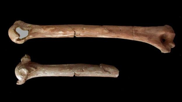 Lucy's fractured humerus. The top bone is a full reconstruction of the original fragment below. Credit: ADRIENNE WITZEL, UT AUSTIN