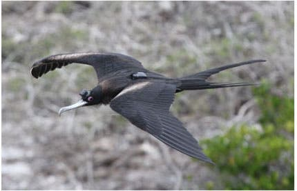 A frigatebird in flight, probably napping. Modified after Niels C. Rattenborg et al., 2016 / Nature Comm.