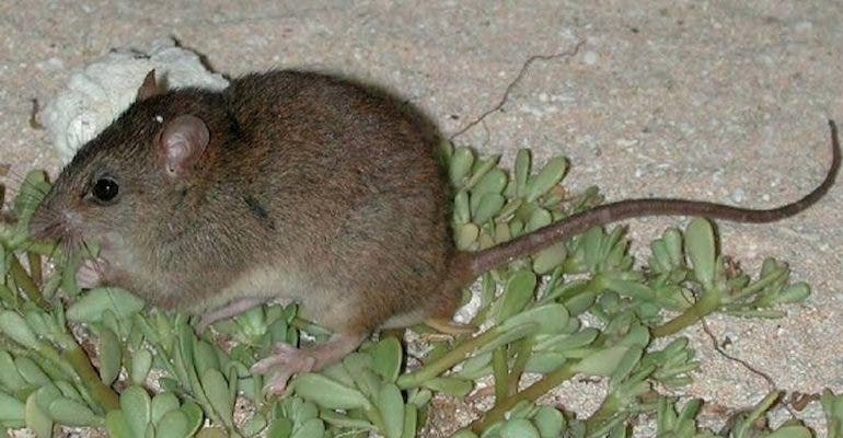 Bramble Cay melomys. Credit: Wikimedia Commons