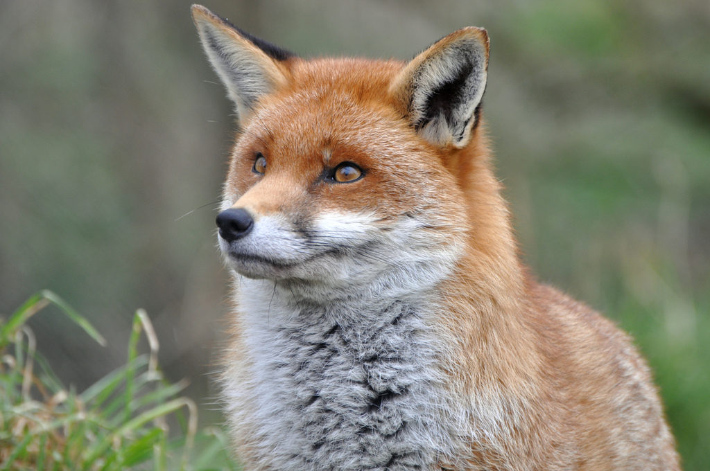 russian geneticist breeds the first domesticated foxes and i want one