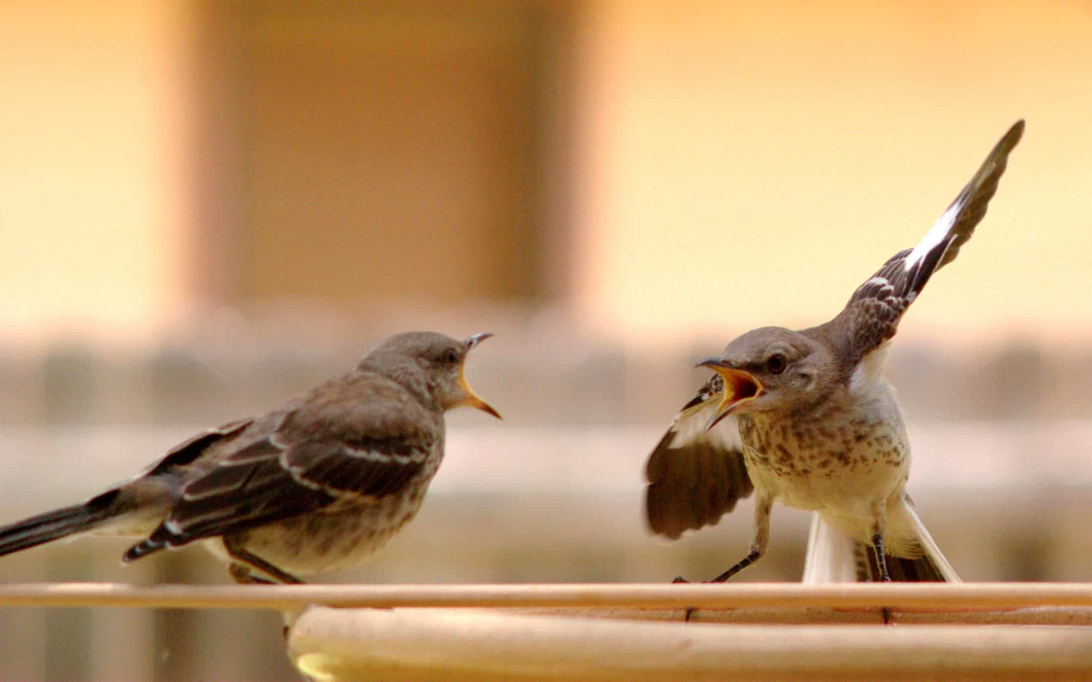 Mocking birds having an argument. Credit: Wikimedia Commons