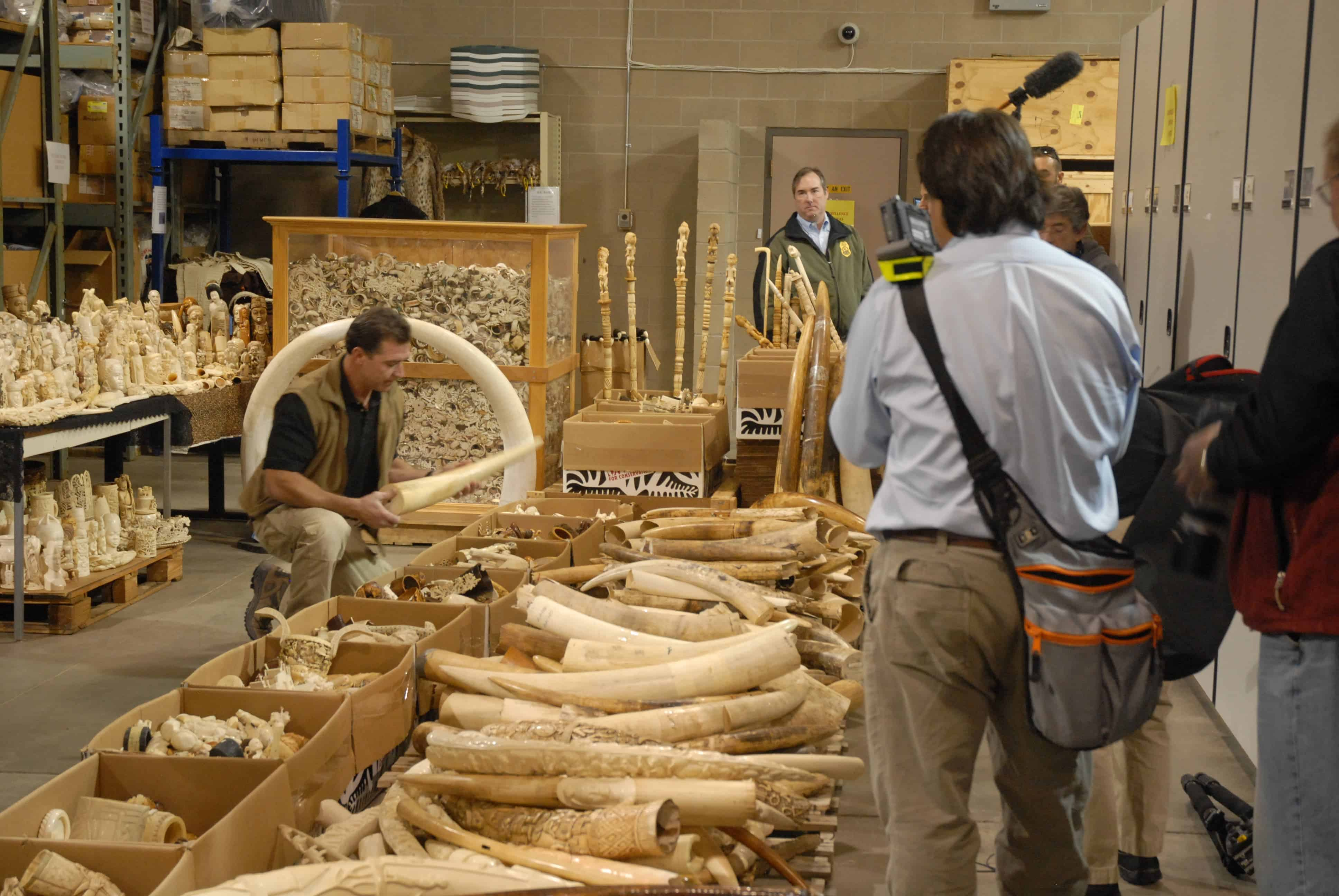 Seized ivory slated for destruction. Credit: Wikimedia Commons