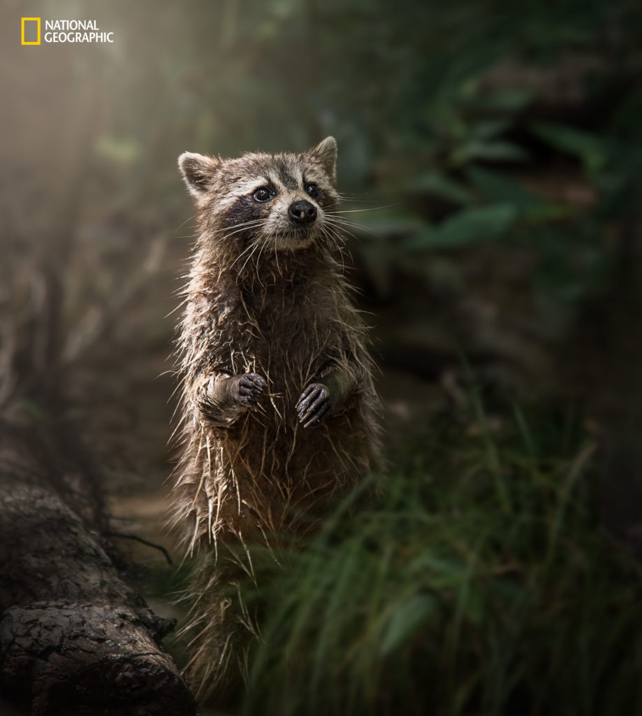 """Image credits Kim Aikawa / 2016 National Geographic Nature Photographer of the Year. """"While looking for alligators at a swamp in Louisiana, this beautiful little creature wanders out of the murky waters right into the morning light, pausing just long enough to capture,"""" Aikawa said. Really good shot."""