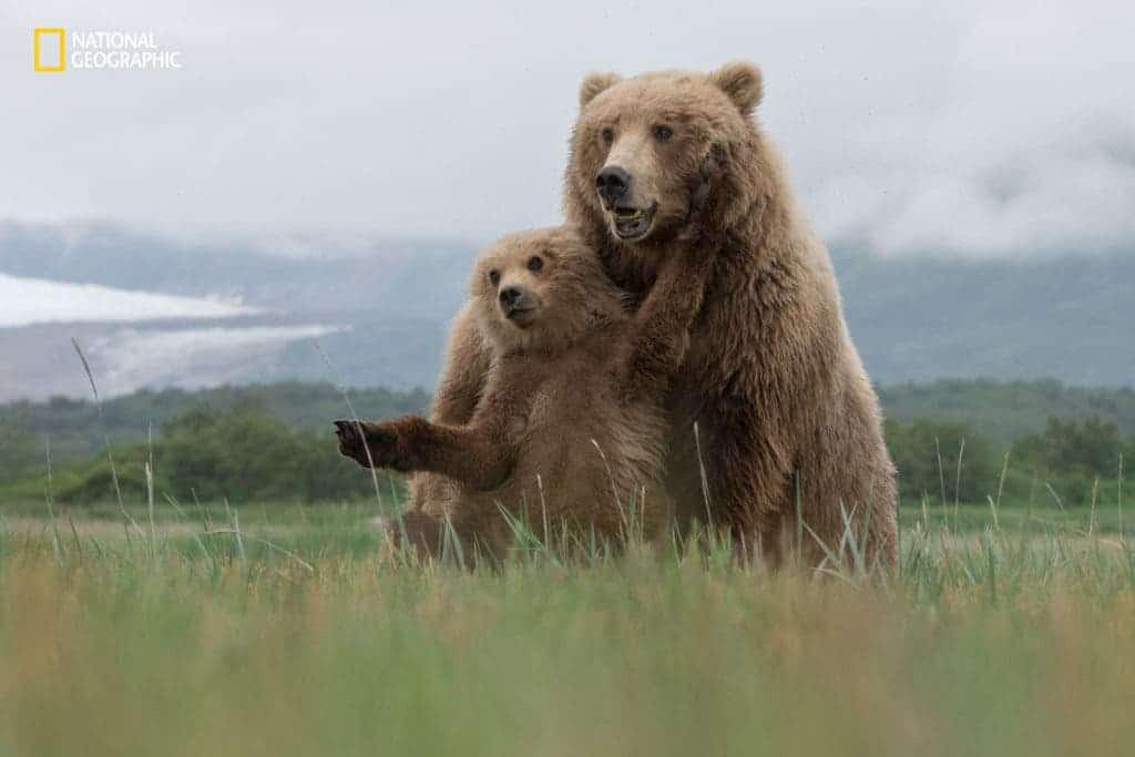 Image credits Aaron Baggenstos / 2016 National Geographic Nature Photographer of the Year. Brown Bears, Katmai National Park, Alaska.