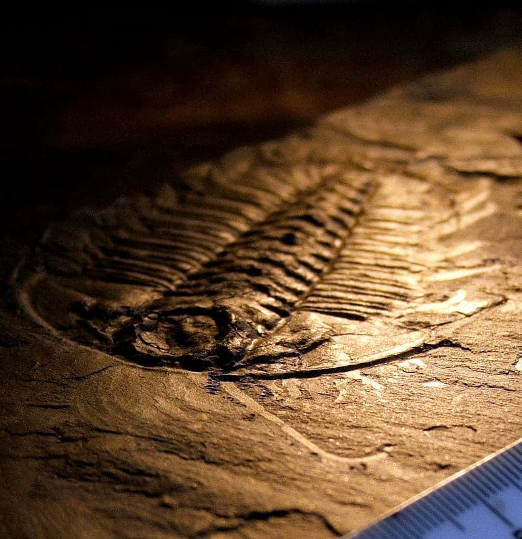 Trilobite Facts And Other Wonders Of These Lovely Fossils