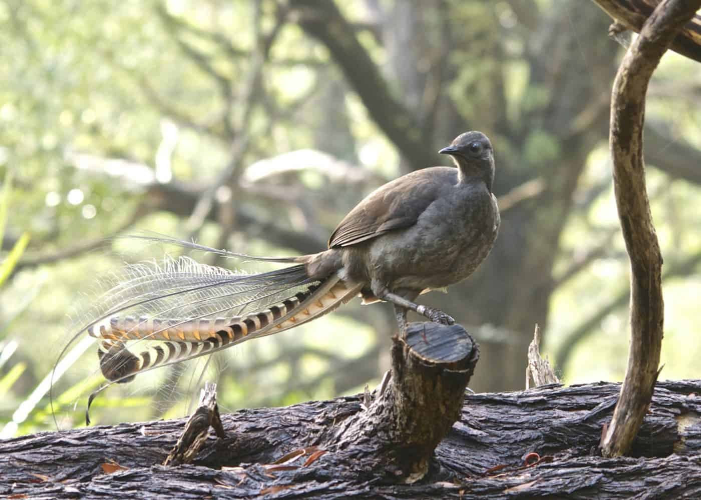 the amazing lyrebird can mimic any sound in the world