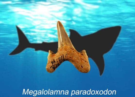 Megalolamna paradoxodon had grasping-type front teeth and cutting-type rear teeth likely used to seize and slice medium-sized fish and it lived in the same ancient oceans megatoothed sharks inhabited. (Image by Kenshu Shimada)