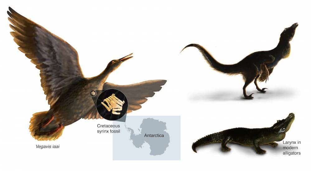 Artist rendering of Vegavis iaai syrinx. Reptiles and birds share a common ancestors, but they use different organs to make sounds. Credit:  J. Clarke/UT Austin