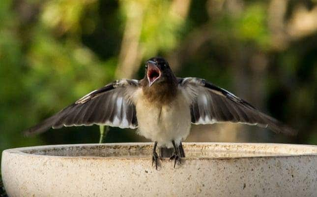A young pied butcherbird playing its first songs. Credit: Pixabay