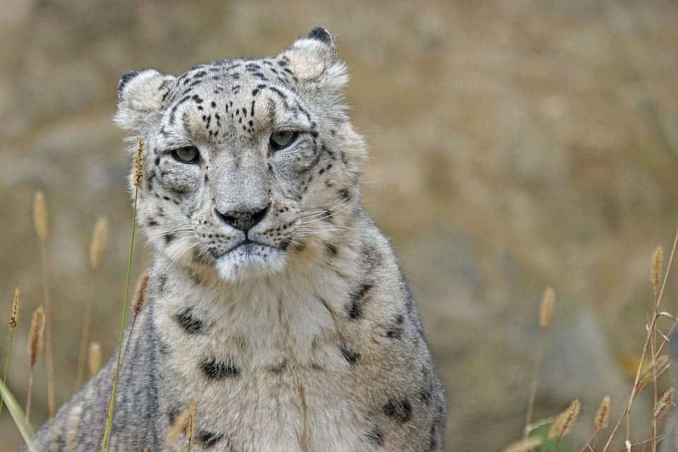 Snow Leopards Which Were First Ed As Endangered In 1972 Are Found Central Asia Photo 123rf