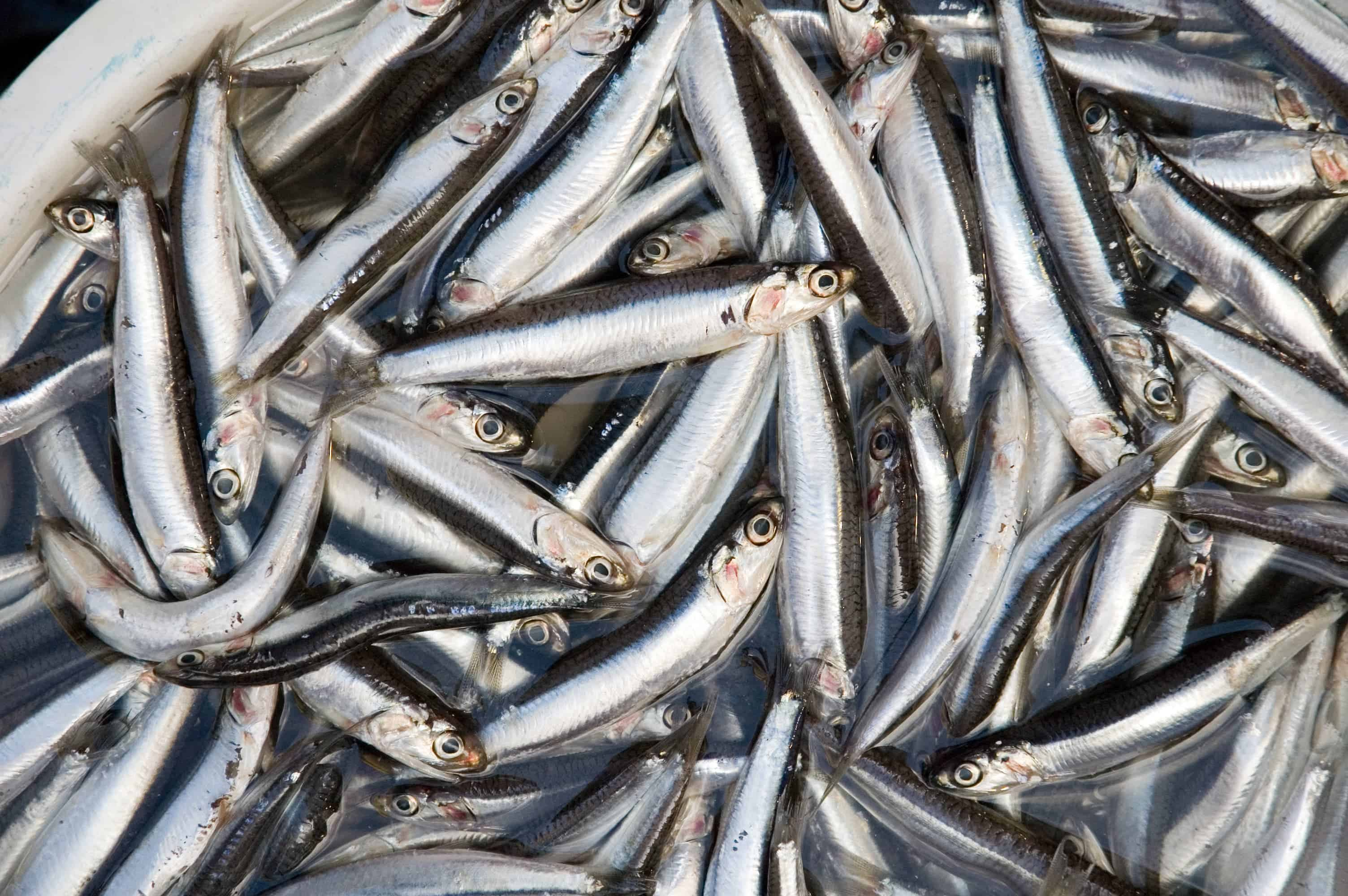 Anchovies_4122029675
