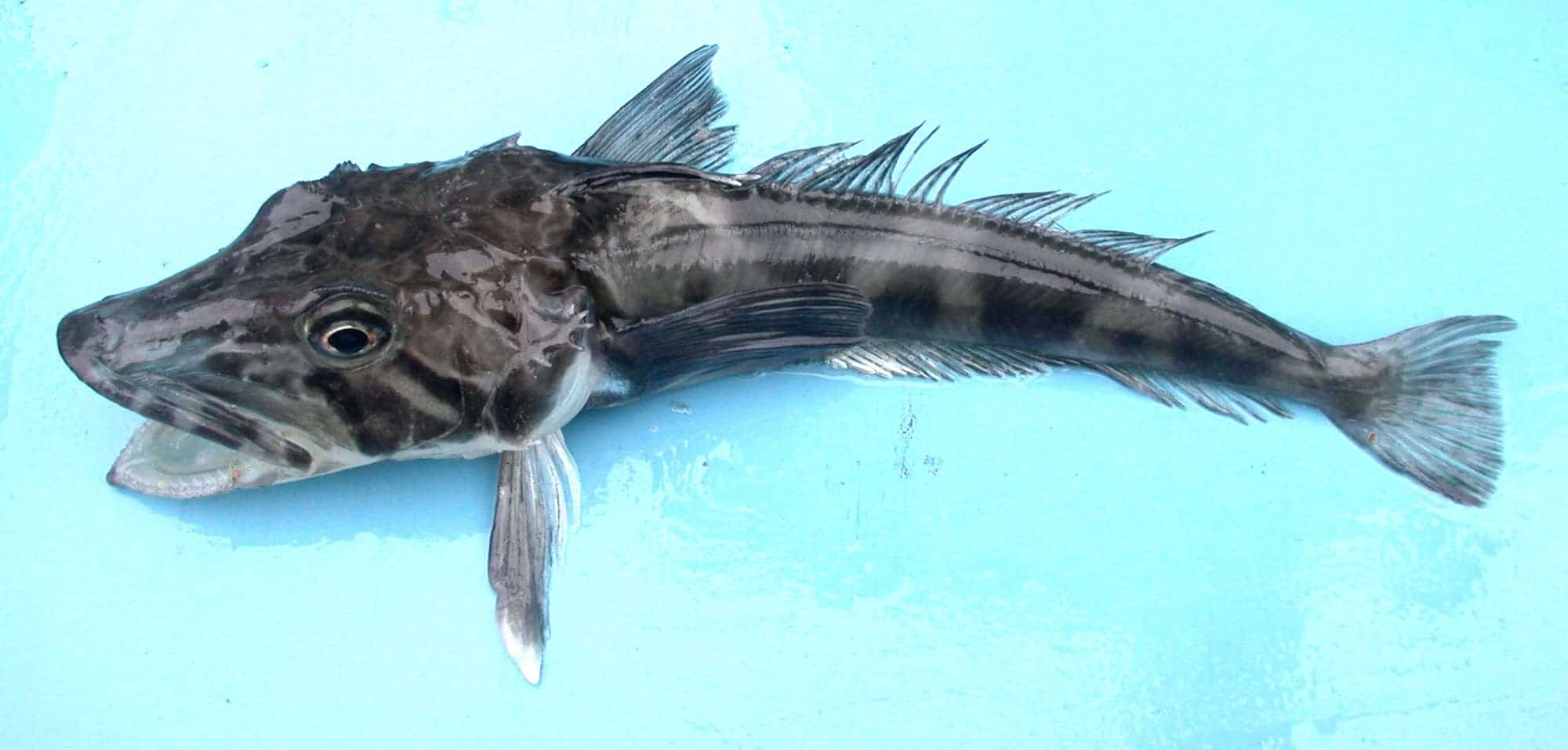 You might be eating icefish instead. Image credits: Valerie Loeb