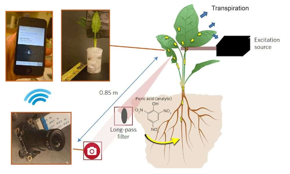 Diagram of the plant-nanotech sensing setup. Credit:  Juan Pablo Giraldo / MIT