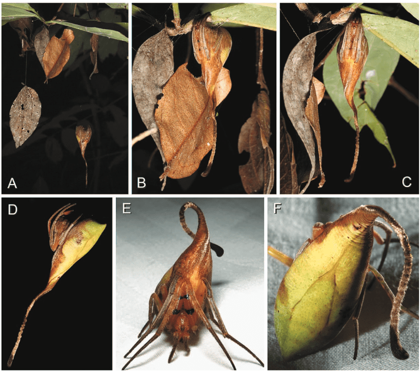 The ultimate leaf masquerade in an orb web spider, an undescribed species of Poltys (Araneidae) from Yunnan. A–C, A female had hung dead leaves from a twig that also included live leaves to masquerade itself from visual predators (A). Upon slight disturbance, she withdrew higher onto the twig (B, C) where it remained motionless; D, lateral view of female pose in nature, note her abdomen resembling a dead leaf ventrally and a live, green leaf dorsally, both parts extending into a long and straight, apical abdominal hairy pedicel; E, female placed on a flat surface, showing her flexible abdominal pedicel, now curved; F, same, dorsal close up, note ''leaf venation'' and long hairy pedicel. Credit: Matjaz Kuntner, caption Journal of Arachnology.