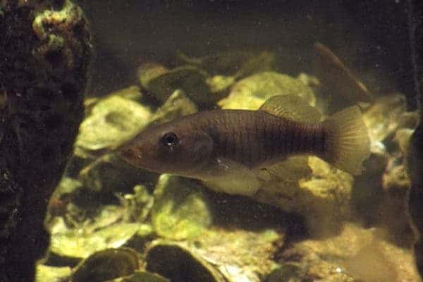 Atlantic Killifish. Credit: Wikimedia Commons