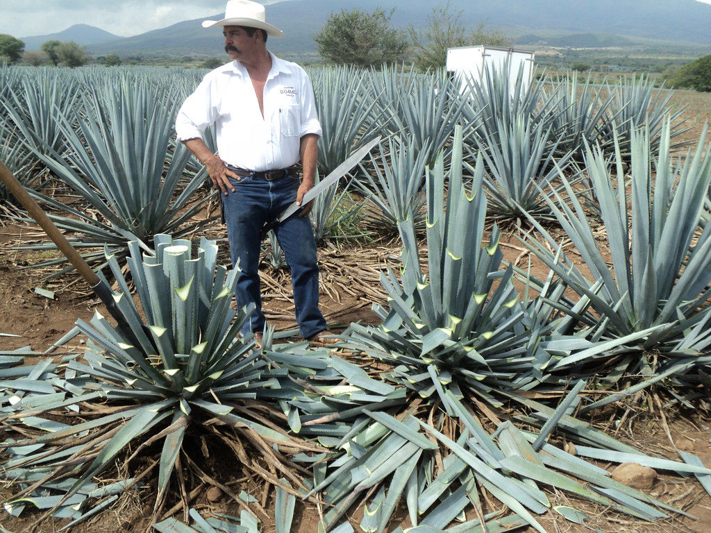 Mexican farmer harvesting Agave, a plant used to brew Tequila. Credit: Flickr, Luis Romero.