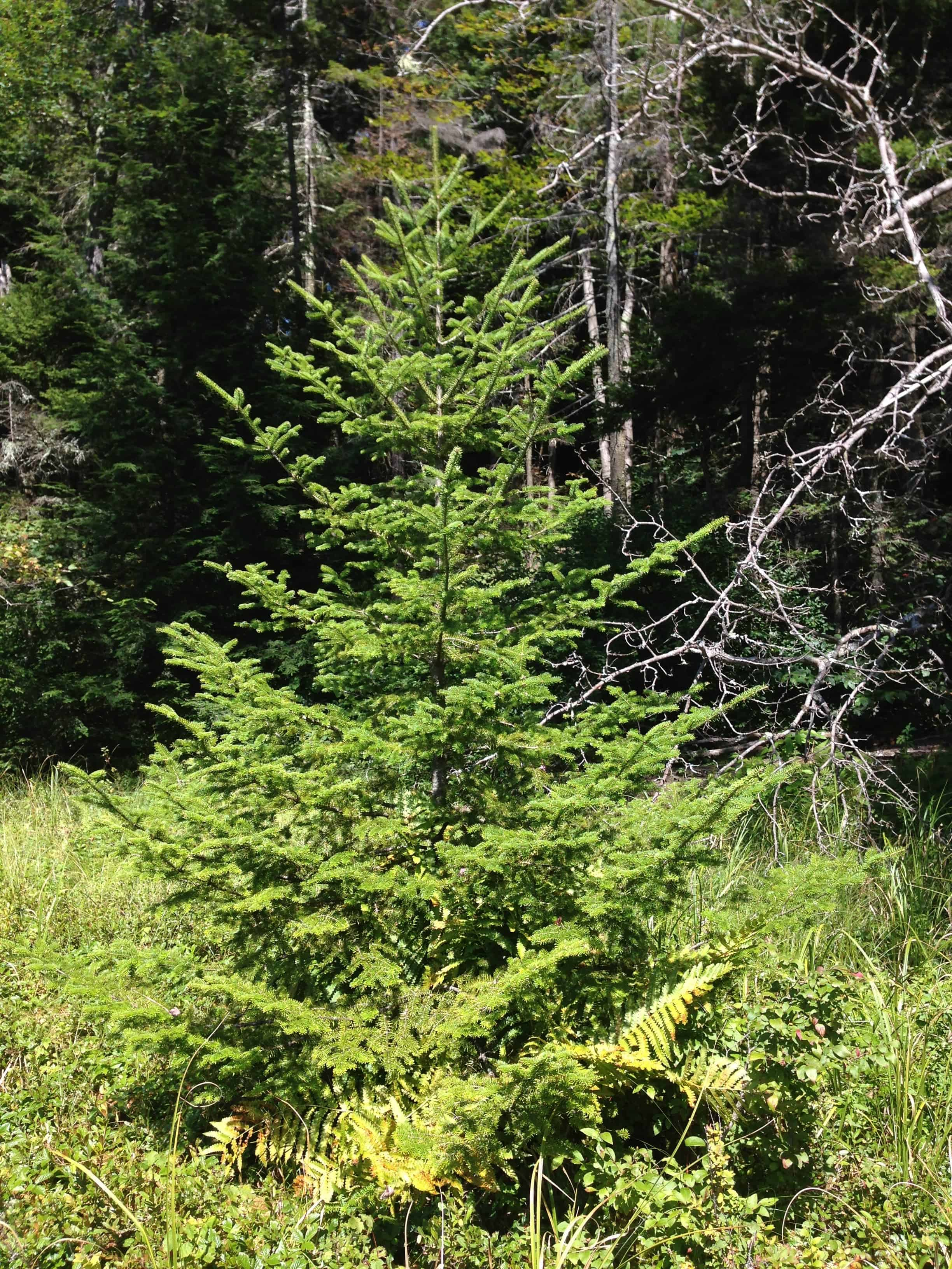 Sparse Christmas Tree Types.The Different Species Of Christmas Tree And How To Pick