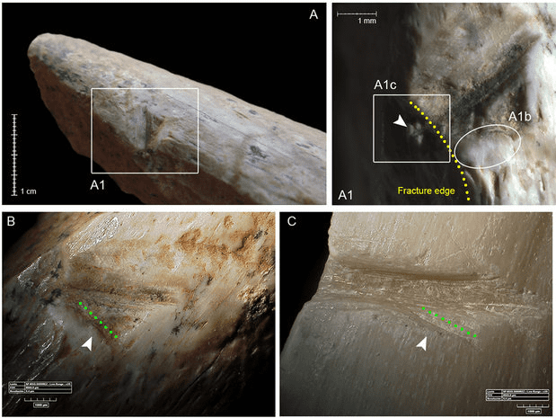 Ancient sawed deer bone. Credit: Zupancich, A. et al. / Scientific Reports