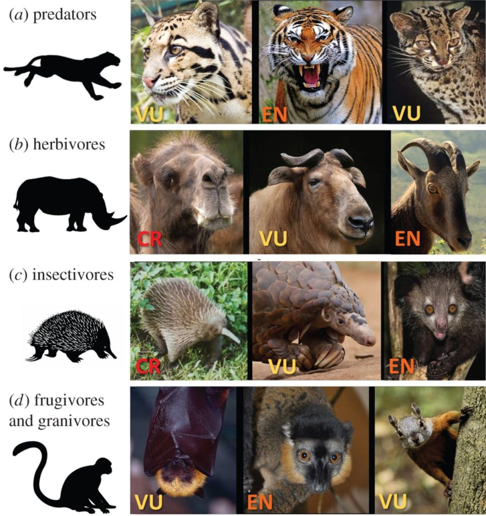 Mammal species threatened by hunting span a range of taxonomic and trophic groups, and perform a wide range of functional roles, ranging from seed dispersal to pest control to ecosystem engineering and regulation. Endangerment classification for each species noted on the image. Status categories are vulnerable (VU), endangered (EN) and critically endangered (CR). Credit: Royal Society Open Science.