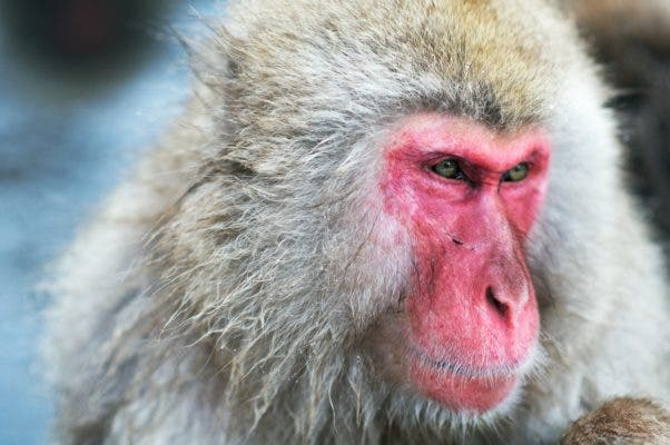 Japanese macaque. Credit: Wikimedia Commons