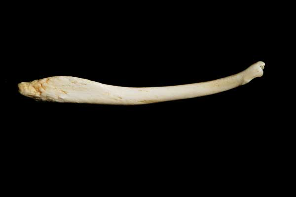 Sea Otter Baculum. Credit: Educational Biofacts.