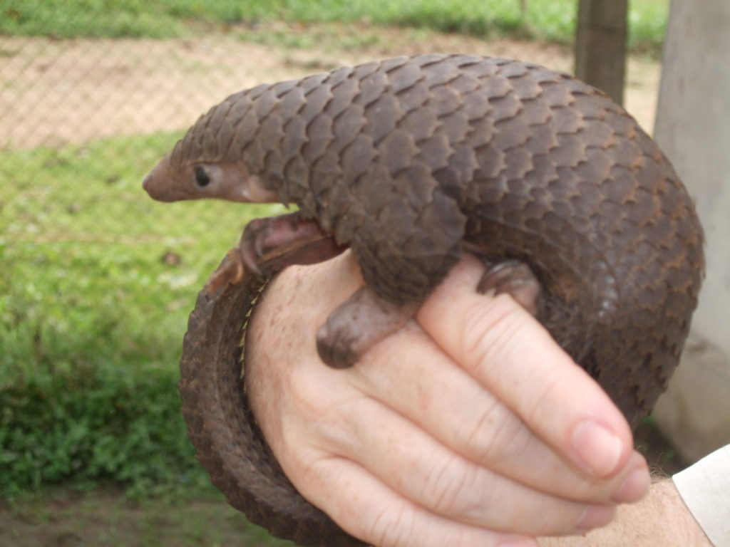 Pangolins are often killed for their meat, which is considered a delicacy. Credit: Wikimedia Common