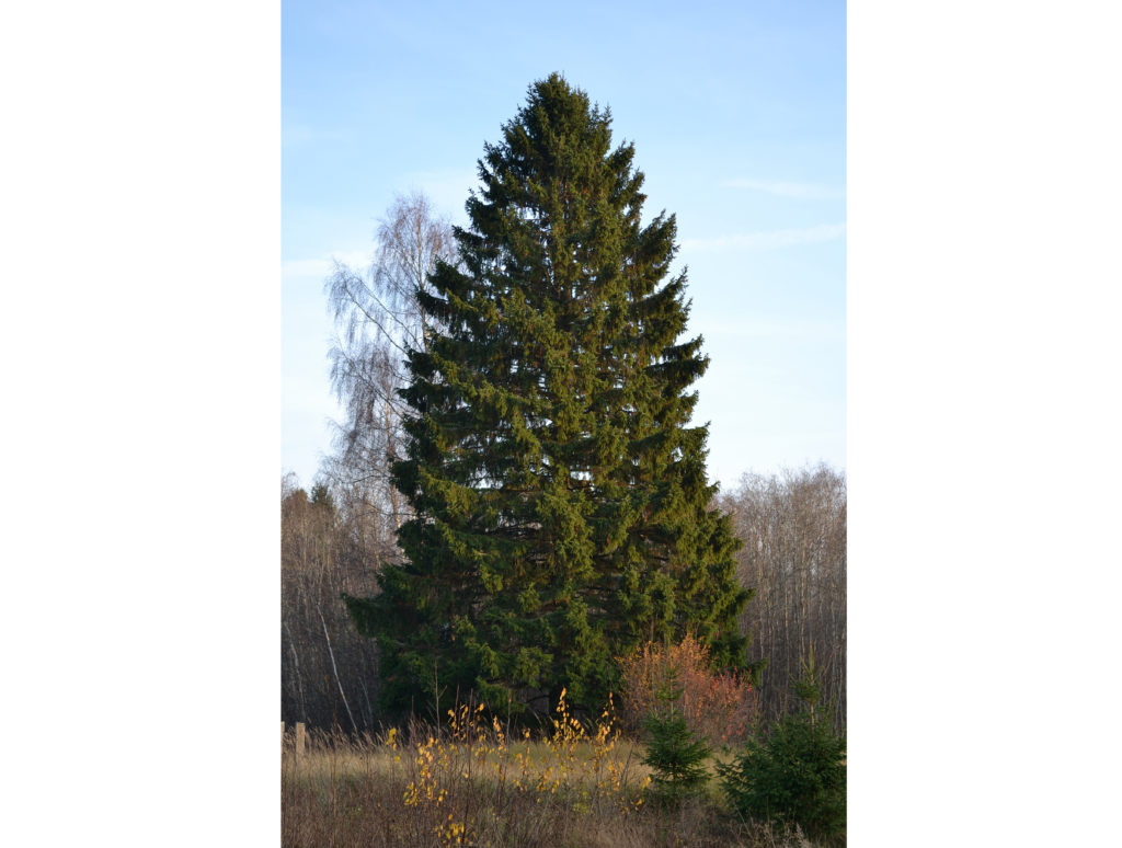 A Norway spruce in the wild. Image credits: Ivar Leidus