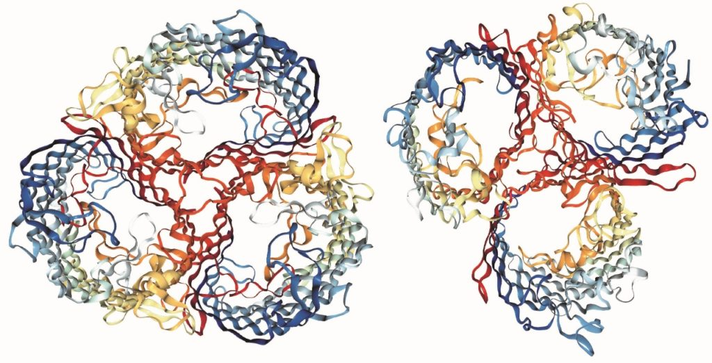 Molecular models of the two receptors the virus evolved to specialize on. Credit: Justin Meyer, UC San Diego