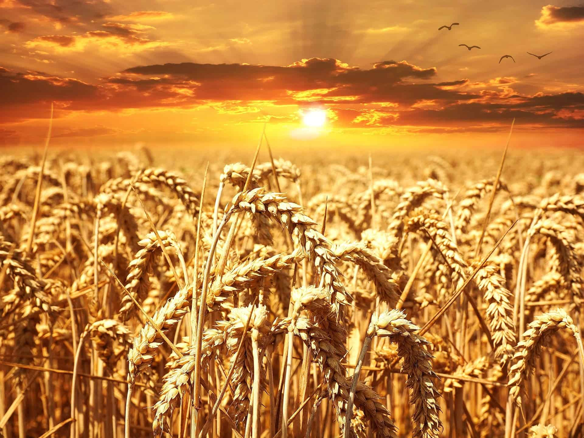rabi crops Despite the lack of water, during kharif, rice, bajra, cotton, tomatoes and peas are cultivated whereas during rabi the main crops are wheat, barley, graham and melons from wikipedia.