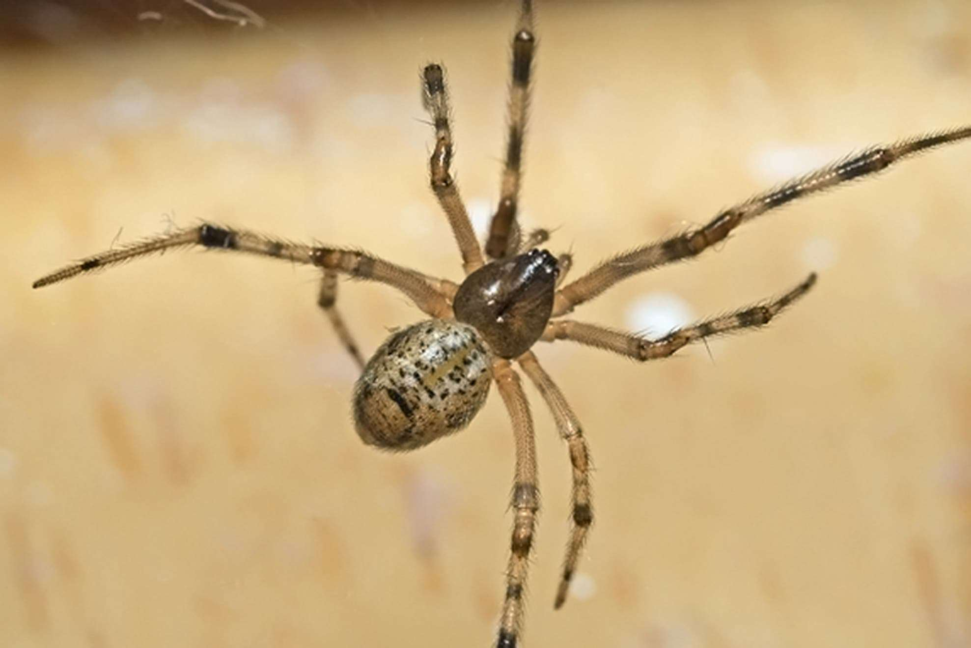 American House Spiders
