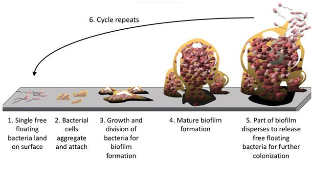 The life cycle of a biofilm. Credit: Bay Area Lyme Foundation.
