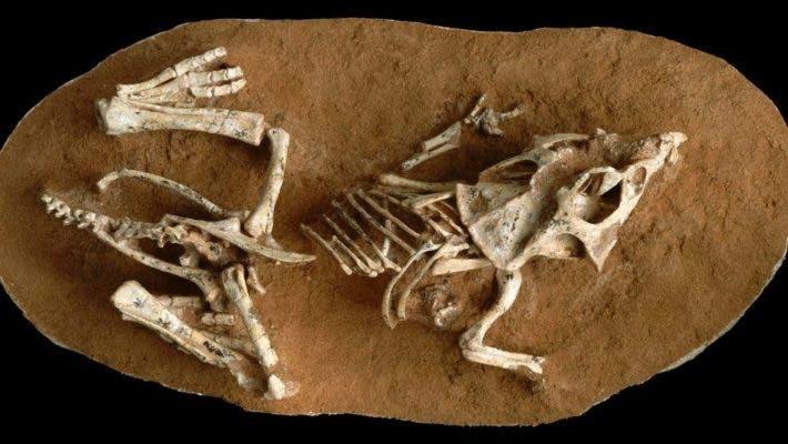 Fossil of Protoceratops hatchling. Credit: Dr. Greg Erickson.