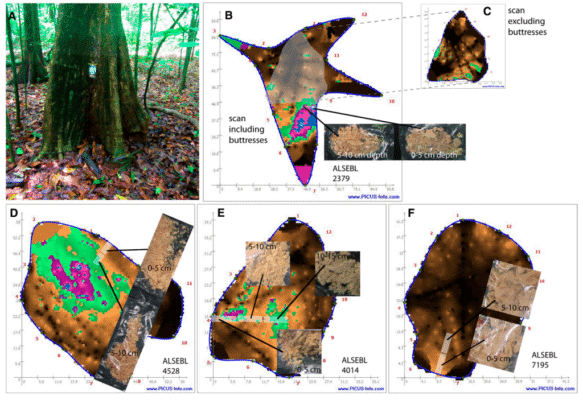 2. Images illustrating key elements of proper sensor placement for reliable sonic tomogram study of internal decay of four individuals of living Alseis blackiana trees on Barro Colorado Island, Panama. Credit: Applications in Plant Sciences