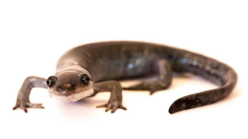 Unisexual mole salamanders for sale