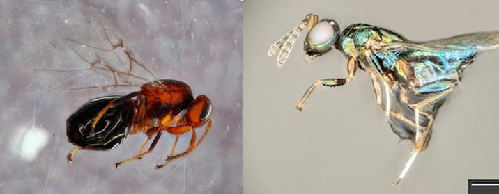 Left: Bassettia pallida. Right: the crypt-keeper wasp, Euderus set. Credit yan Ridenbaugh and Miles Zhang / Andrew Forbes.
